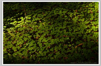 Forest Floor (Redwood Forest) by Chris Ryan
